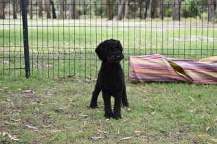 Poppie-Poodle-Banksia Park Puppies - 11 of 29