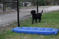 Poppie-Poodle-Banksia Park Puppies - 2 of 29
