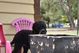 Poppie-Poodle-Banksia Park Puppies - 26 of 29