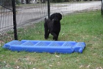 Poppie-Poodle-Banksia Park Puppies - 3 of 29