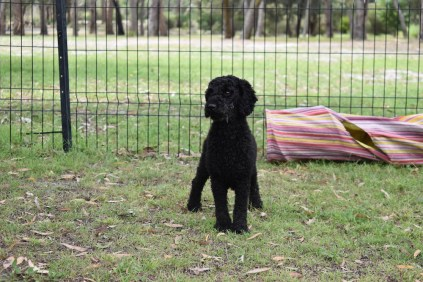 Poppie-Poodle-Banksia Park Puppies - 9 of 29