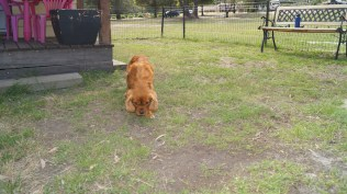Rosebud-Cavalier-Banksia Park Puppies - 12 of 16
