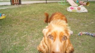 Zara-Cocker Spaniel-Banksia Park Puppies - 16 of 24