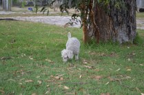 BeeBee-Moodle-Banksia Park Puppies - 17 of 33