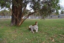 BeeBee-Moodle-Banksia Park Puppies - 19 of 33