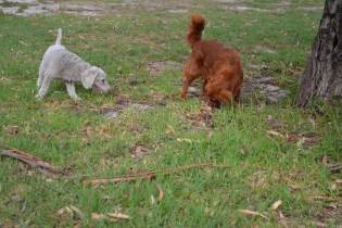 BeeBee-Moodle-Banksia Park Puppies - 21 of 33