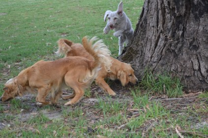 BeeBee-Moodle-Banksia Park Puppies - 31 of 33