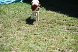 Bess-Cavalier-Banksia Park Puppies - 22 of 32