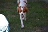 Bess-Cavalier-Banksia Park Puppies - 31 of 32
