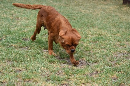 Bobby-Cavalier-Banksia Park Puppies - 10 of 24