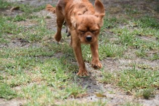 Bobby-Cavalier-Banksia Park Puppies - 12 of 24