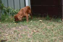 Bobby-Cavalier-Banksia Park Puppies - 19 of 24