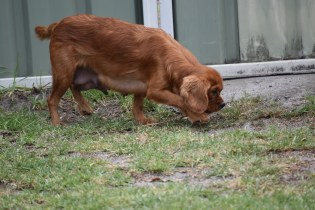 Bobby-Cavalier-Banksia Park Puppies - 22 of 24
