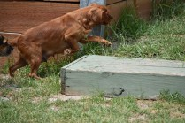 Bobby-Cavalier-Banksia Park Puppies - 4 of 24