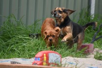 Bobby-Cavalier-Banksia Park Puppies - 6 of 24