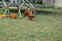 Bobby-Cavalier-Banksia Park Puppies - 9 of 24