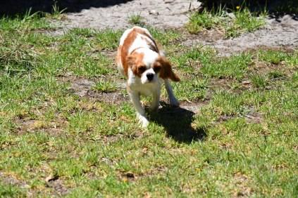 Bubble-Cavalier-Banksia park Puppies - 1 of 28