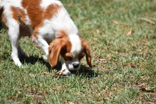 Bubble-Cavalier-Banksia park Puppies - 10 of 28