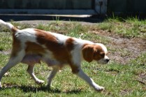 Bubble-Cavalier-Banksia park Puppies - 24 of 28