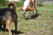 Bubble-Cavalier-Banksia park Puppies - 4 of 28