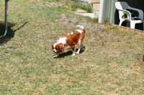 Dainty-Cavalier-Banksia Park Puppies - 19 of 24