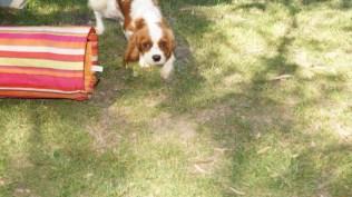 Demi-Cavalier-Banksia Park Puppies - 1 of 25