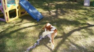 Demi-Cavalier-Banksia Park Puppies - 22 of 25