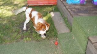 Demi-Cavalier-Banksia Park Puppies - 5 of 25