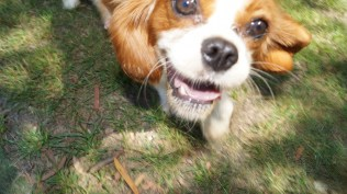 Dreamy-Cavalier-Banksia Park Puppies - 11 of 31