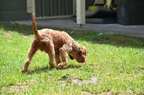 Gracie-Cavoodle-Banksia Park Puppies - 15 of 33