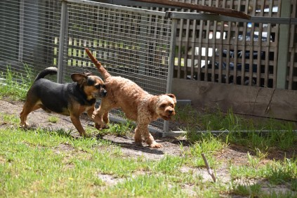 Gracie-Cavoodle-Banksia Park Puppies - 23 of 33
