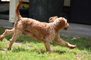Gracie-Cavoodle-Banksia Park Puppies - 25 of 33