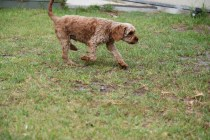 Gracie-Cavoodle-Banksia Park Puppies - 4 of 33