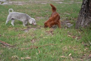 Heaven-Cavoodle-Banksia Park Puppies - 11 of 22