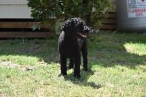 Minya-Poodle-Banksia Park Puppies - 21 of 26