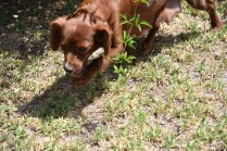 Muppet-Cavoodle-Banksia Park Puppies - 10 of 27