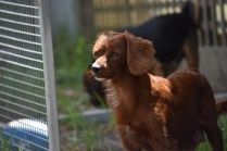 Muppet-Cavoodle-Banksia Park Puppies - 20 of 27