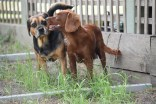 Muppet-Cavoodle-Banksia Park Puppies - 26 of 27