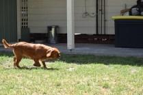 Neta-Cavalier-Banksia Park Puppies - 36 of 42