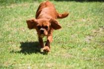 Neta-Cavalier-Banksia Park Puppies - 6 of 42