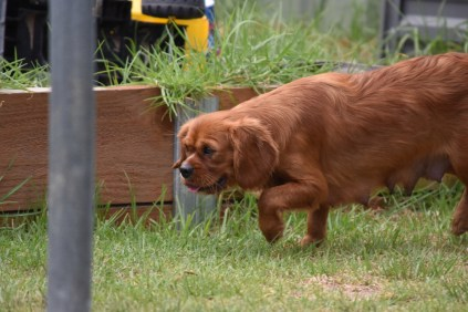 Noni-Cavalier-Banksia Park Puppies - 10 of 25