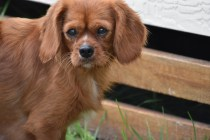 Noni-Cavalier-Banksia Park Puppies - 16 of 25
