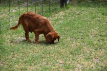 Noni-Cavalier-Banksia Park Puppies - 20 of 25