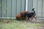 Noni-Cavalier-Banksia Park Puppies - 25 of 25