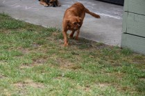 Noni-Cavalier-Banksia Park Puppies - 4 of 25