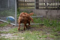 Noni-Cavalier-Banksia Park Puppies - 6 of 25