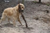 Oscar-Golden Retriever-Banksia Park Puppies - 13 of 41