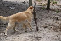 Oscar-Golden Retriever-Banksia Park Puppies - 14 of 41