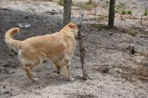 Oscar-Golden Retriever-Banksia Park Puppies - 15 of 41