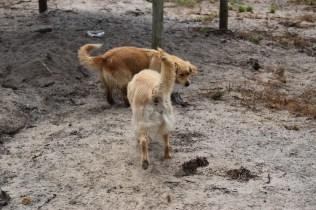 Oscar-Golden Retriever-Banksia Park Puppies - 20 of 41
